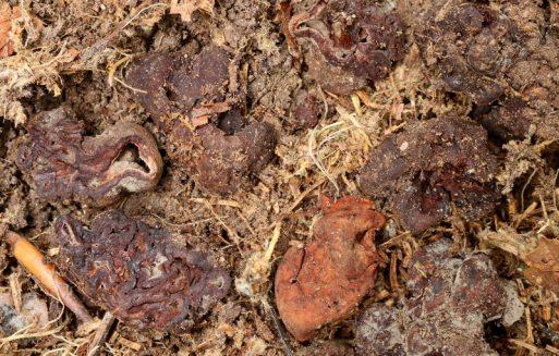 Fruchtkörper am Standort