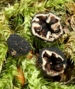 Fruchtkörper, ca. x3