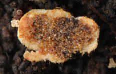 Fruchtkörper im Anschnitt, ca. x6