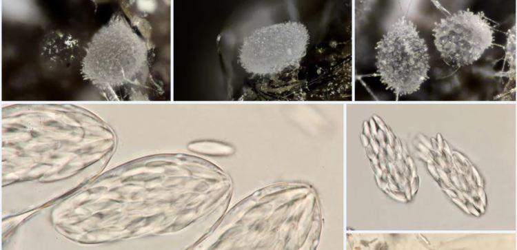 2020-04-07 23_15_23-Ascozonus (Renny) E.C. Hansen 1877