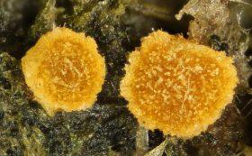 Fruchtkörper, ca. x40