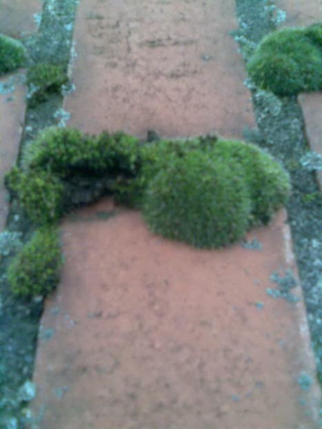 Habitat, Grimmia pulvinata
