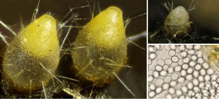 2020-05-14 15_54_49-Trichobolus (Sacc.) Kimbr. & Cain 1967
