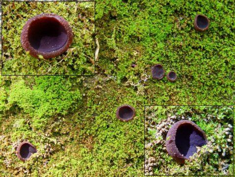 Fruchtkörper am Standort, (c) E. Sousa