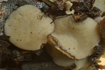Fruchtkörper