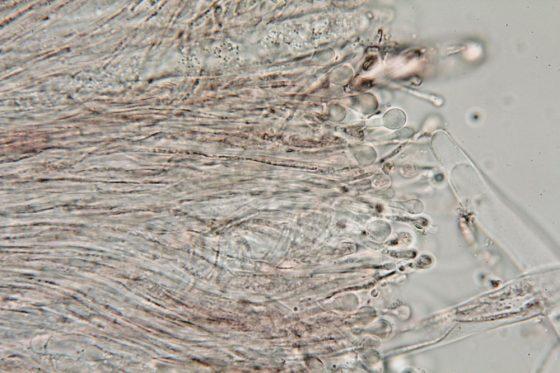 Paraphysen in Wasser, x1250