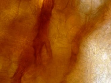 Haarbasis in Wasser, x1000