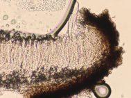Schnitt durch einen Fruchtkörper in Wasser, ca. x500