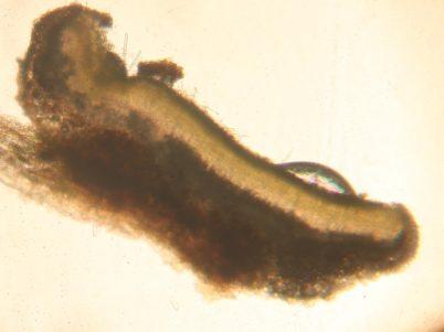 Schnitt durch einen Fruchkörper in Wasser, ca. x100