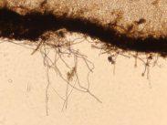 Haare der Außenseite in Wasser, x200