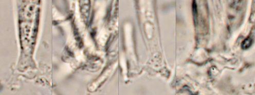 Ascusbasen mit Haken in Wasser, x1000